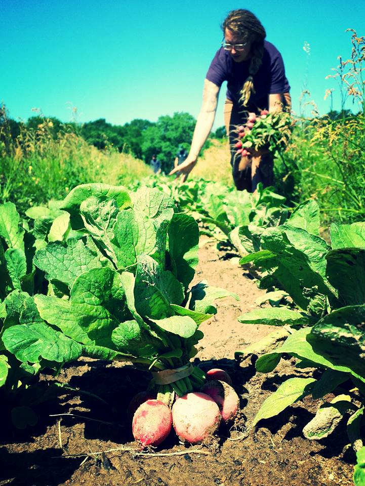Harvesting for the farmers market at Red Moon Farm