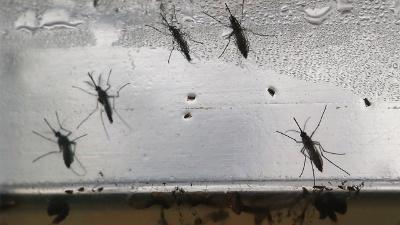 Zika-mosquitos-jpg_20160715162910-159532